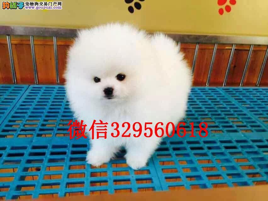 济南哪里有卖博美的 小体博美多少钱 球体博美犬出售