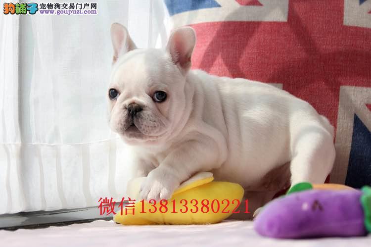 济南哪里有卖法国斗牛犬的 奶油法斗多少钱 纯种法斗