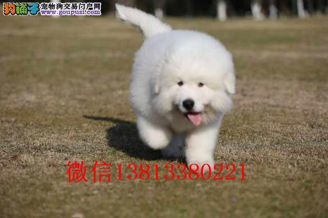 济南纯种大白熊出售 大白熊多少钱 最好的大白熊价格