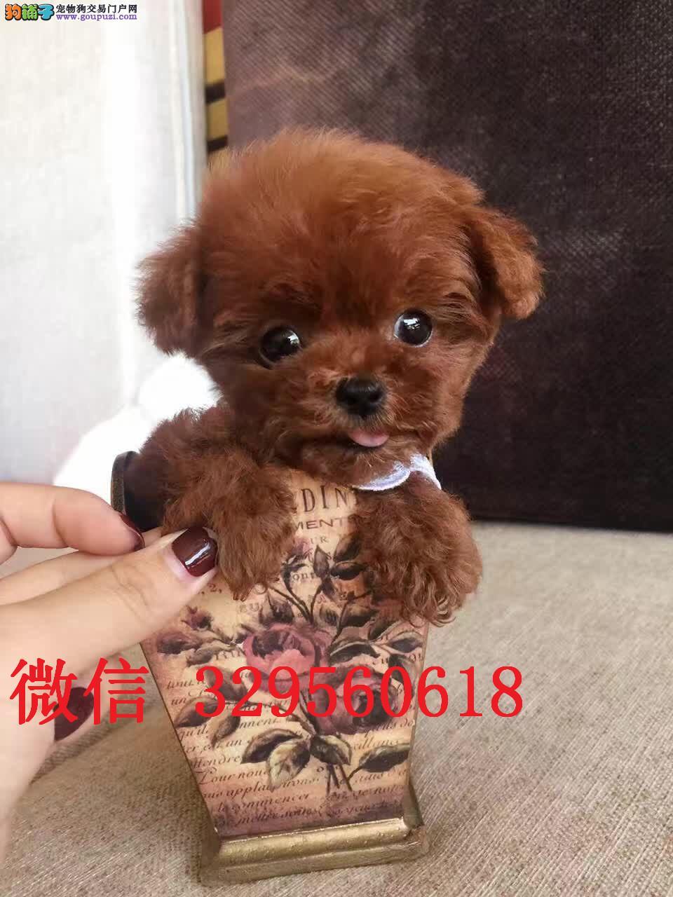 济南哪里有卖泰迪的 茶杯泰迪多少钱 小体泰迪犬出售