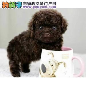 北京通保名犬纯种泰迪茶杯犬多少钱纯种茶杯泰迪多少钱
