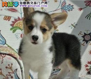 北京通保名犬纯种柯基犬多少钱纯种柯基多少钱柯基价格
