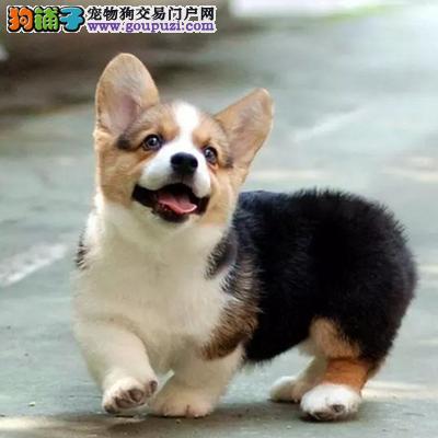 北京国泰狗场纯种柯基犬多少钱纯种柯基多少钱柯基价格