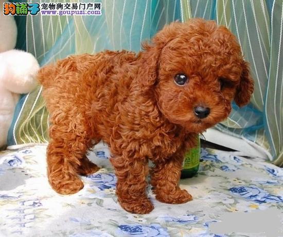 北京国泰宠物纯种泰迪茶杯犬多少钱纯种泰迪茶杯犬价格