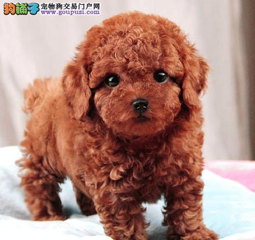 郑州出售纯种泰迪犬健康纯种百分百健康有保证可上门