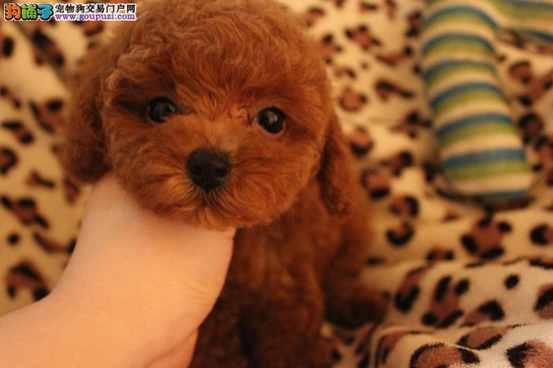 闸北区狗场狗市场宠物店 买泰迪犬价格