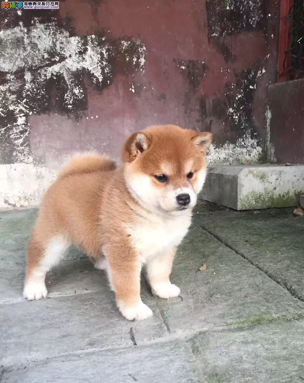 兰州哪里有卖柴犬 纯种日系柴犬多少钱 赤色柴犬犬舍