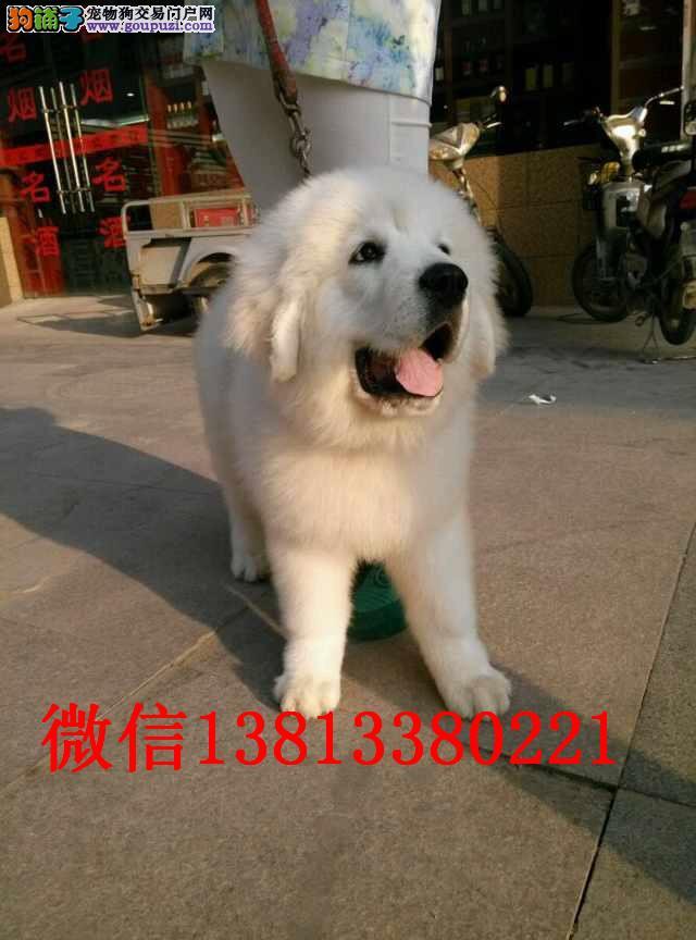 天津哪里有卖大白熊犬 纯种大白熊多少钱 赛级大白熊