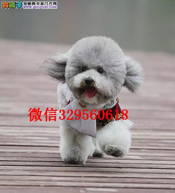 鞍山哪里有泰迪犬出售 泰迪哪里的纯种健康 多少钱