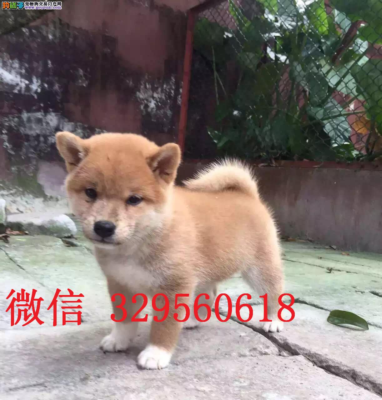 济南哪里有卖柴犬的 纯种柴犬多少钱 日系柴犬出售