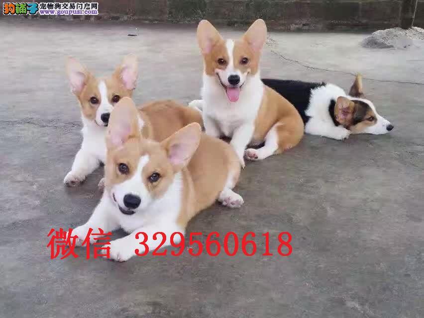 济南哪里有卖柯基的 短腿柯基多少钱 纯种柯基犬出售