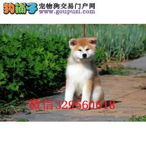 济宁哪里有卖秋田犬 纯种秋田犬多少钱 日系秋田幼犬