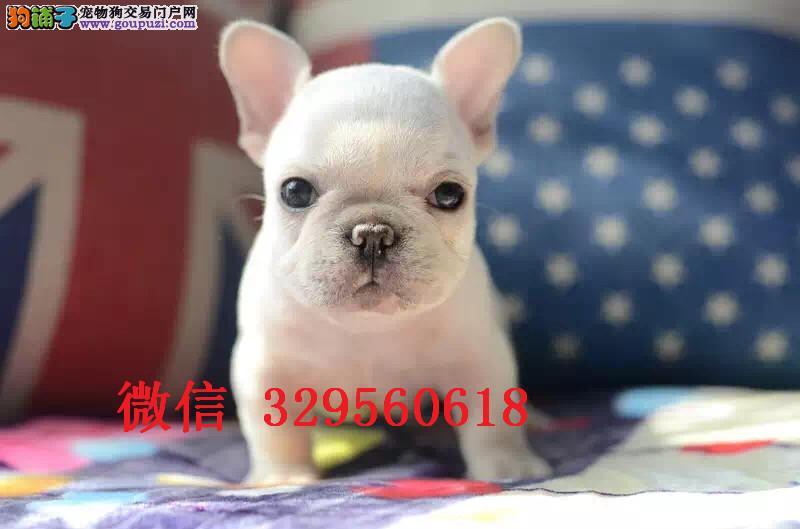 天津哪里有卖法斗 奶油色法斗出售 奶白色法斗多少钱