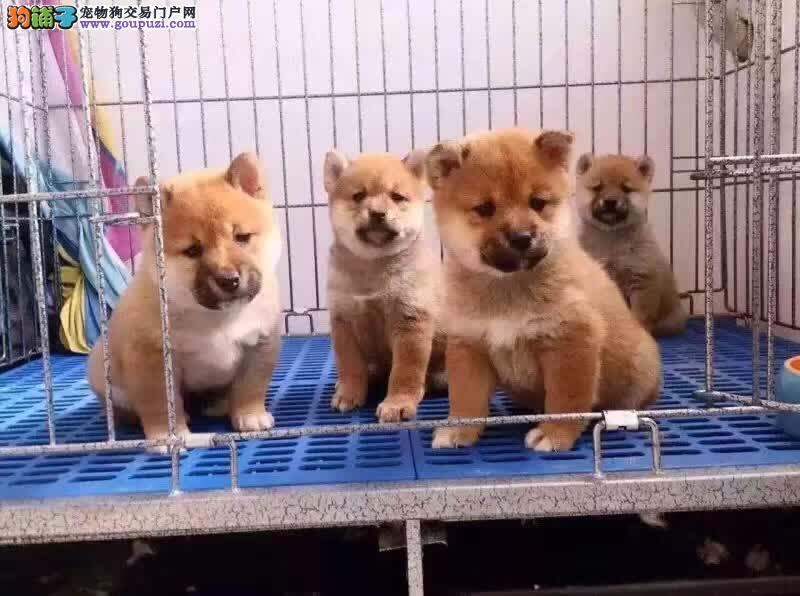 沈阳哪里有卖柴犬 纯种日系柴犬多少钱 柴犬犬舍