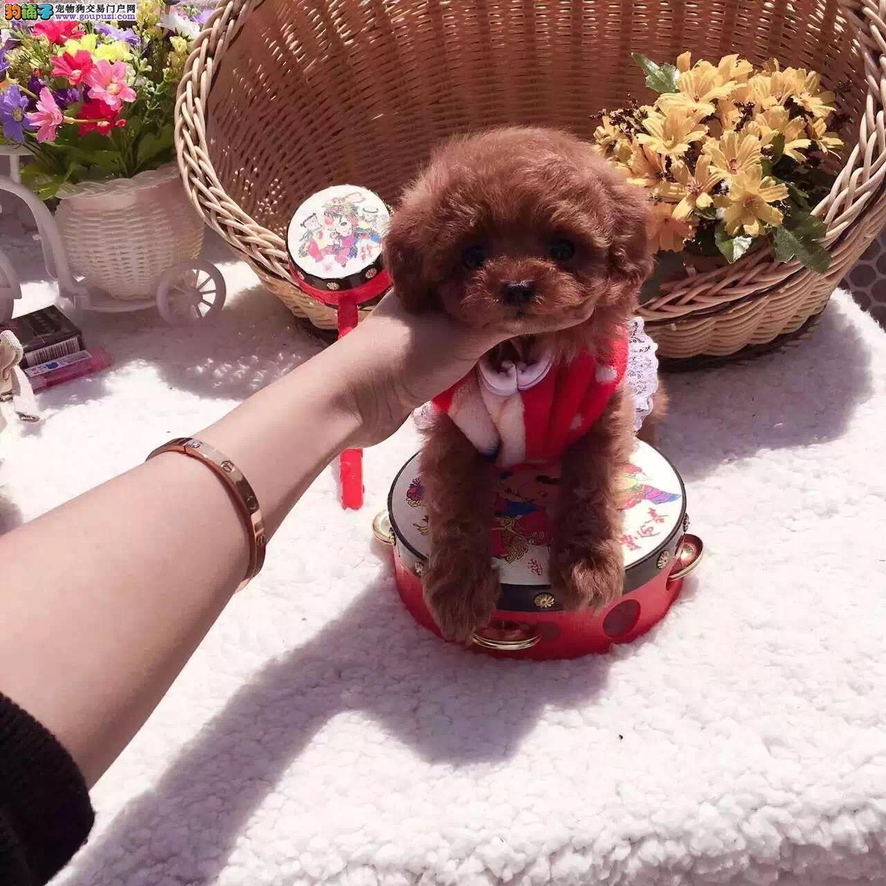 沈阳泰迪犬多少钱 纯种玩具小体灰色泰迪哪里有卖
