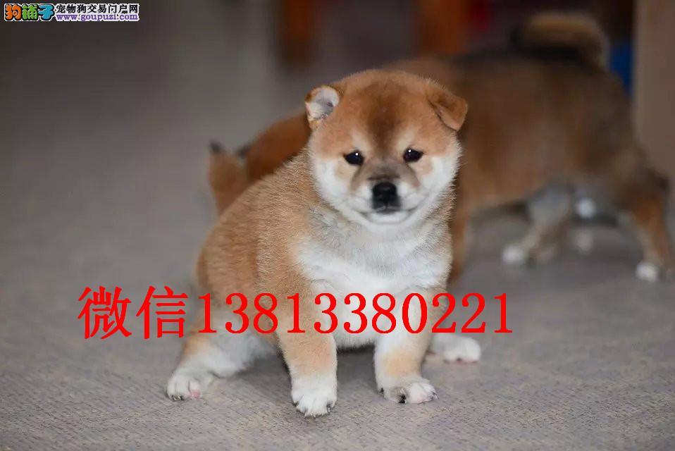沈阳哪里有卖柴犬日系纯种柴犬赛级柴犬多少钱赤色柴犬