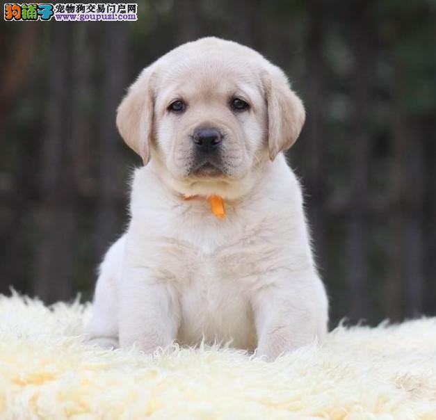 赛级双血统拉布拉多 黄色拉拉 拉布拉多犬舍 拉拉照片