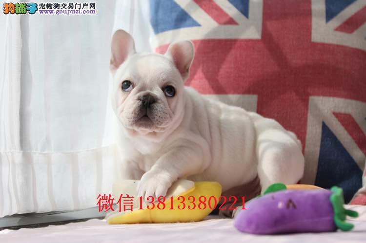 鞍山哪里有卖法斗犬纯种法斗价格多少钱 奶油色法斗