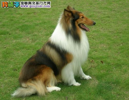 南昌哪里有卖苏牧犬 苏格兰牧羊犬多少钱一只