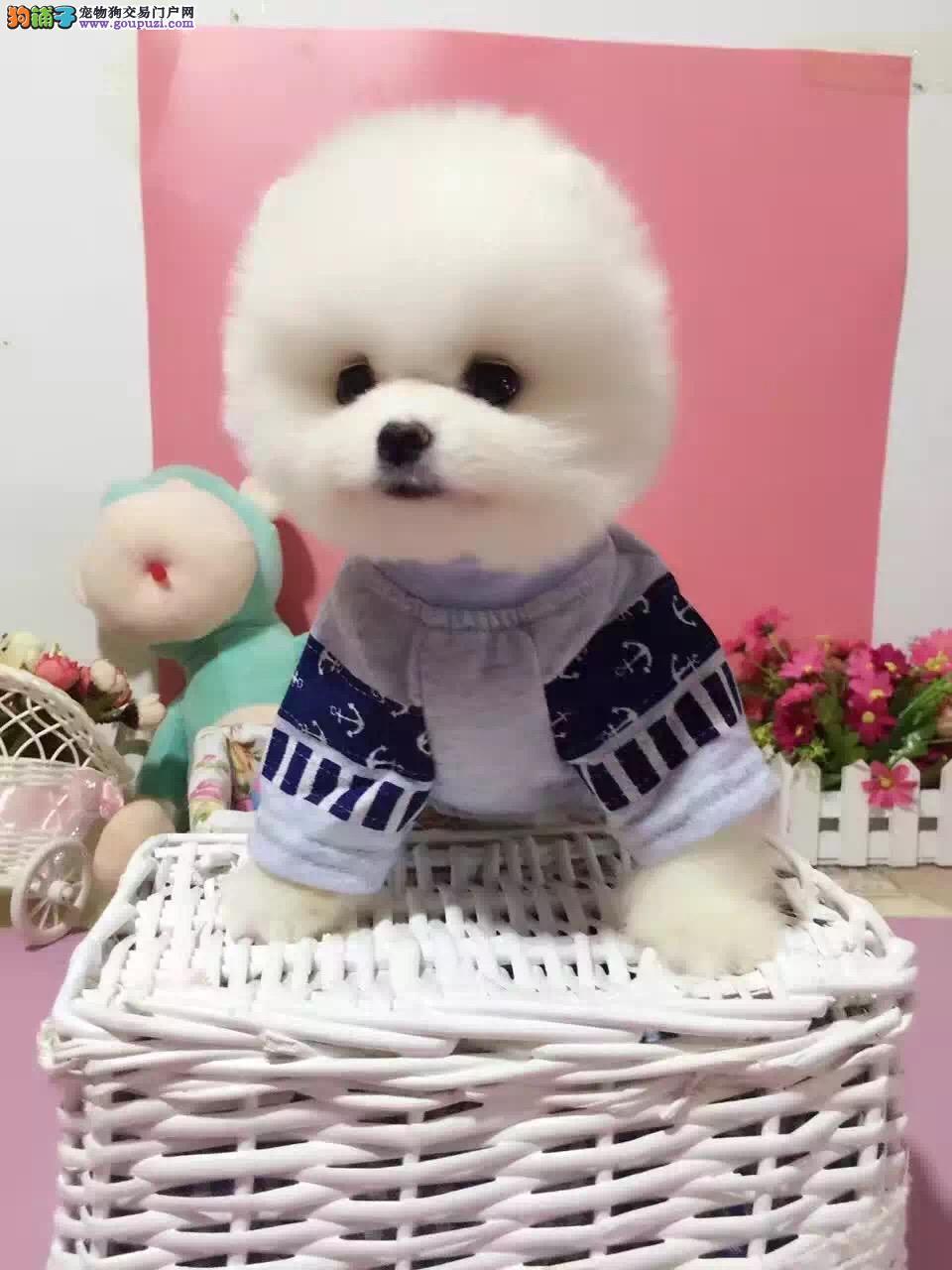 长沙哪里有卖博美 纯种日系博美多少钱博美俊介犬舍