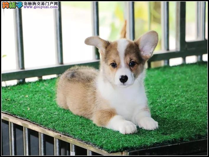 银川柯基犬舍 纯种两色三色柯基多少钱 短腿柯基哪有卖
