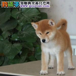 银川哪里有卖柴犬 纯种日系柴犬多少钱 赤色柴犬好养吗