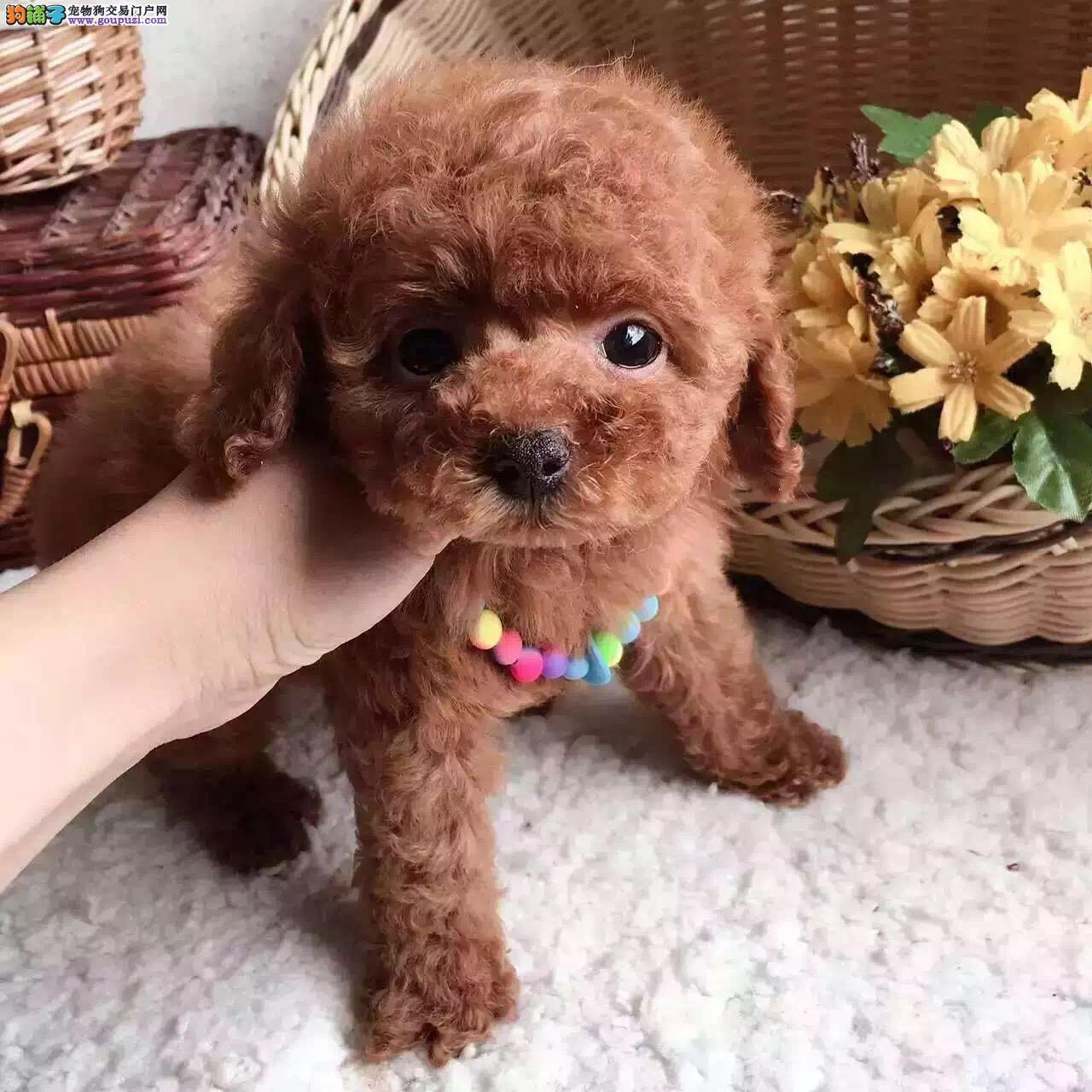 大连哪里有卖泰迪犬 纯种玩具小体泰迪多少钱 灰色泰迪