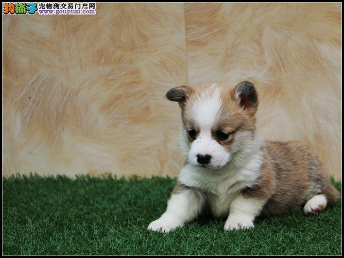 青岛哪有卖柯基犬 纯种两色三色短腿柯基多少 柯基犬舍
