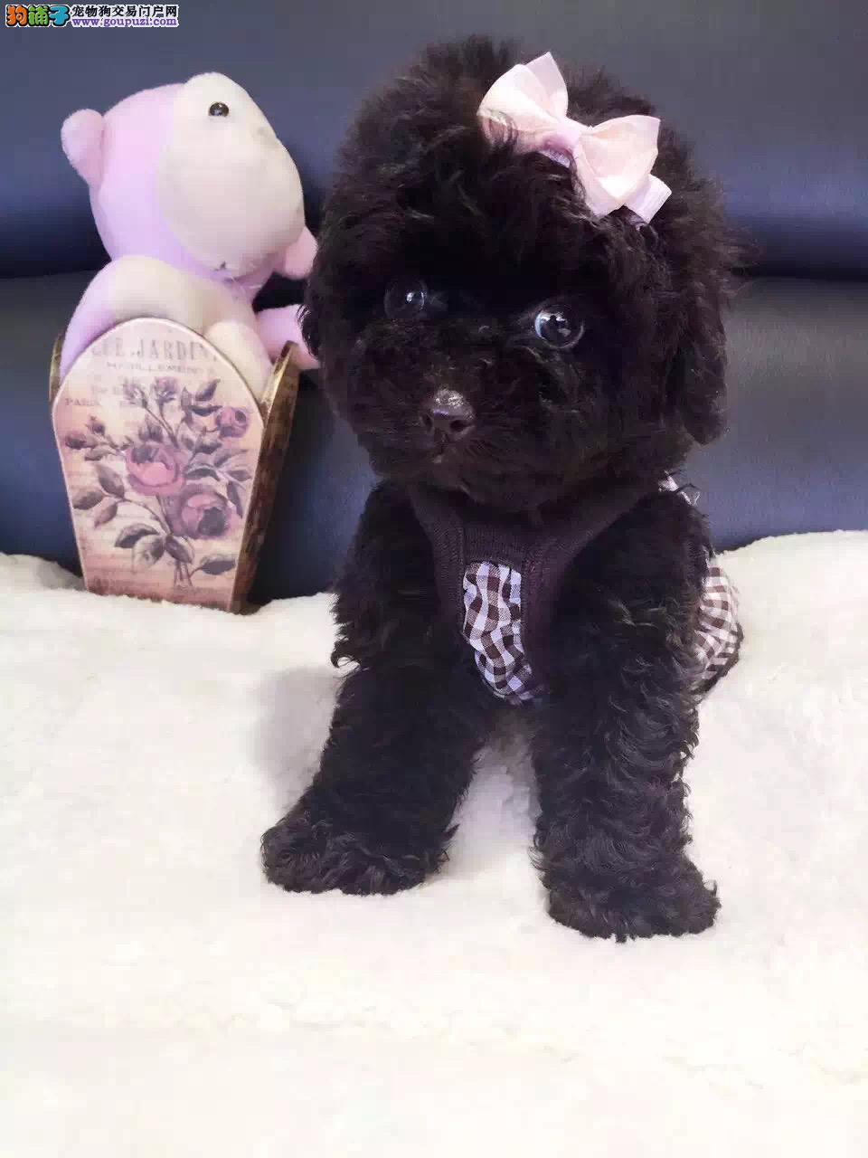 泰迪幼犬颜色全数量多 可以来场挑选 品相超好