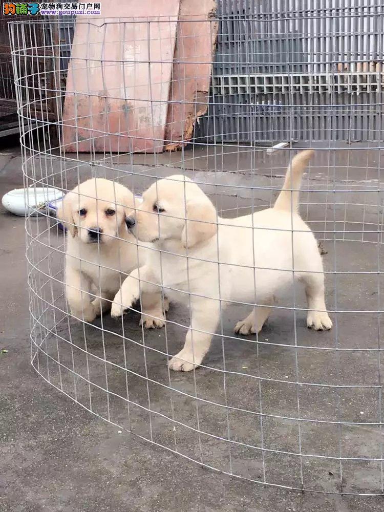 纯种黑色 奶白 黄色 导盲犬 可爱至极 购买签协议