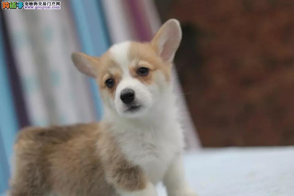 高品质柯基犬出售(家养)品质健康保障