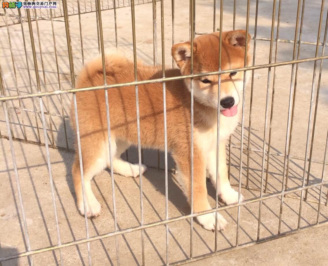 福州柴犬犬舍 日系柴犬多少钱 柴犬好养吗 柴犬图片