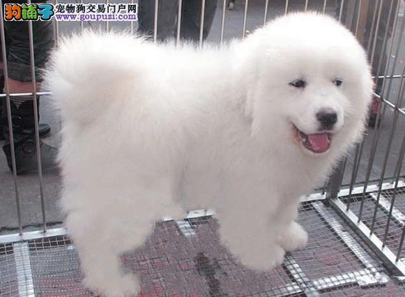 广州哪里有大白熊买 广州大白熊小狗多少钱