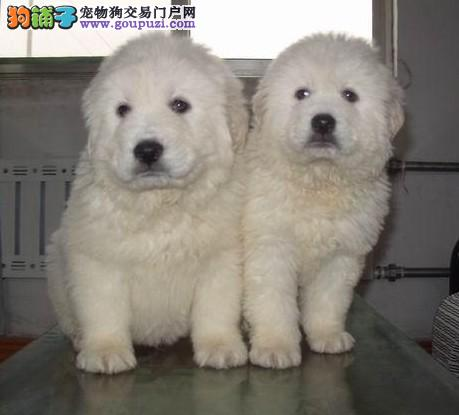 嘉定区狗场大白熊繁殖基地直销大白熊