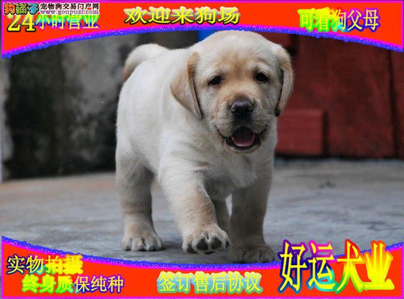 宽嘴大头赛级拉布拉多犬  新年犬舍大酬宾加微信看狗