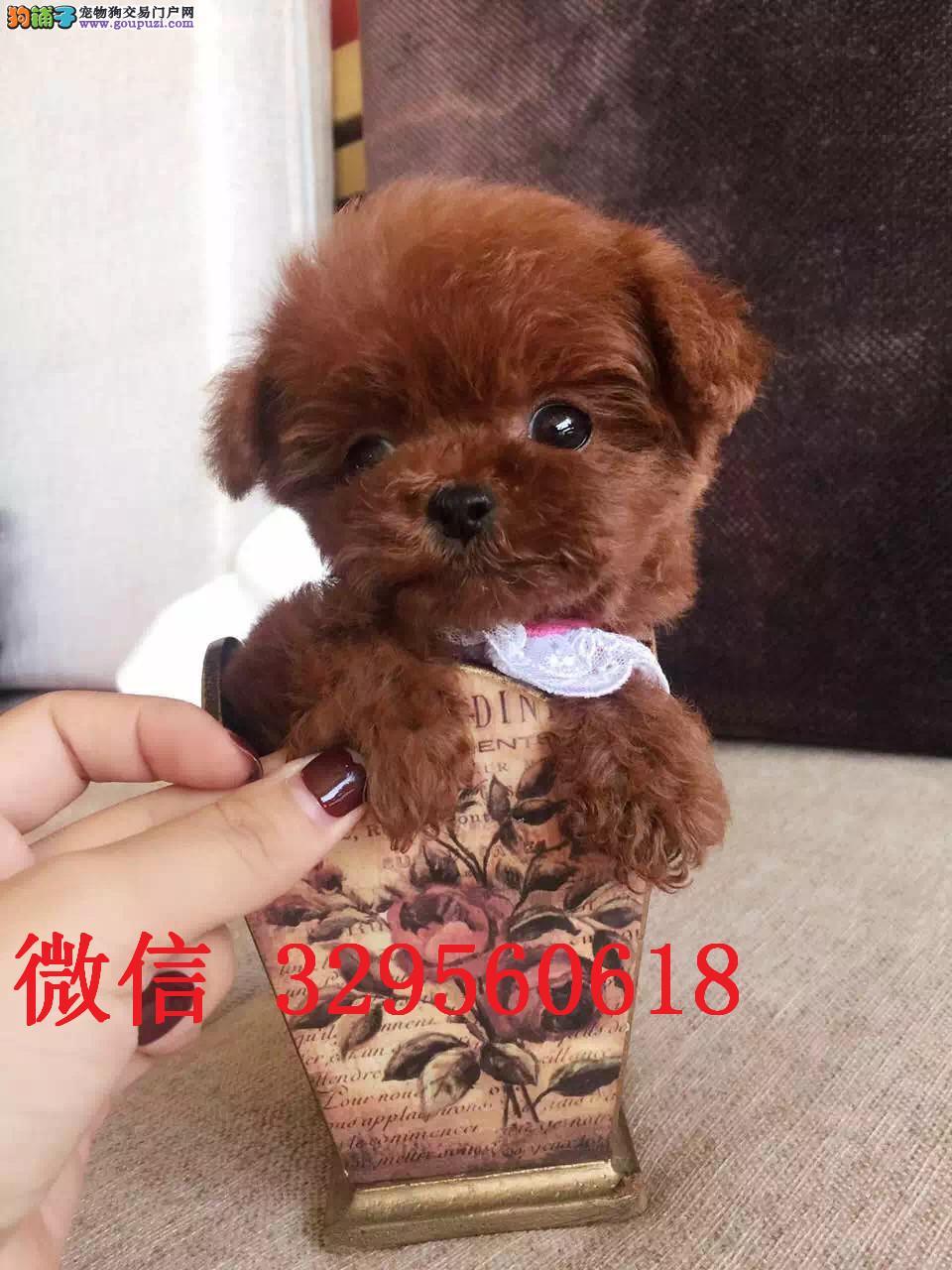 吉林哪里有卖泰迪犬 红色泰迪多少钱小体泰迪茶杯泰迪