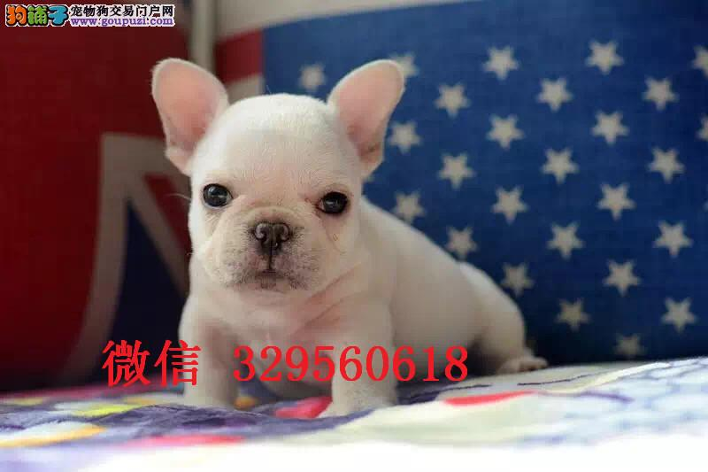 吉林哪里有卖法国斗牛犬 奶油色法斗多少钱 白色法斗犬