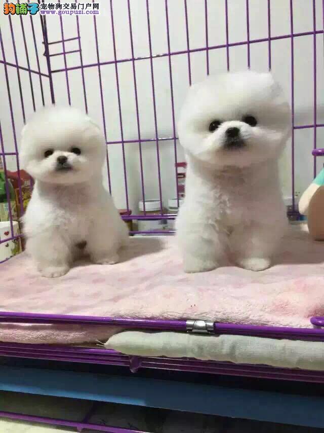 博美犬 小型犬 球体哈多利博美幼犬