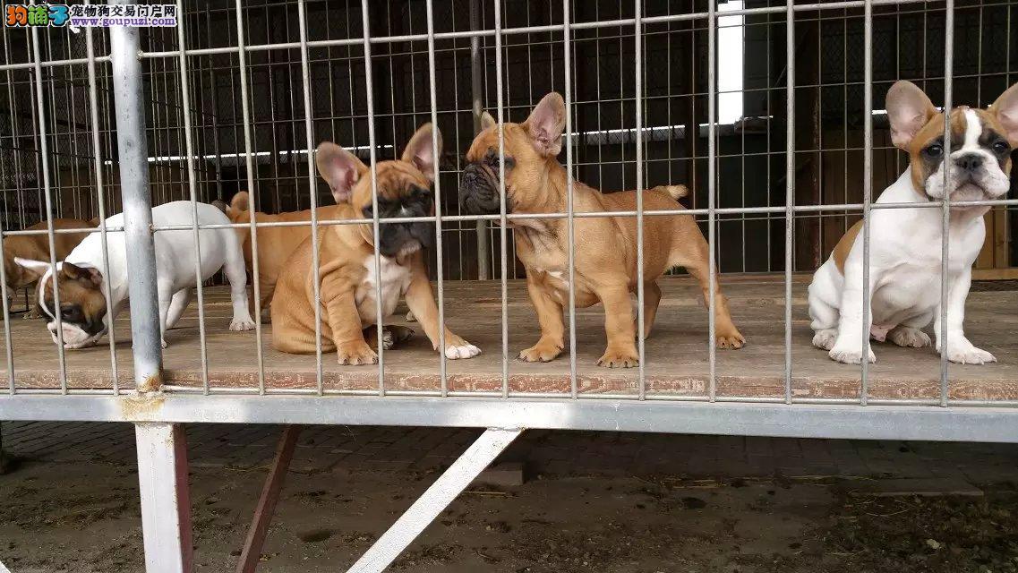 纯种法国斗牛犬颜色齐全权威认证犬舍