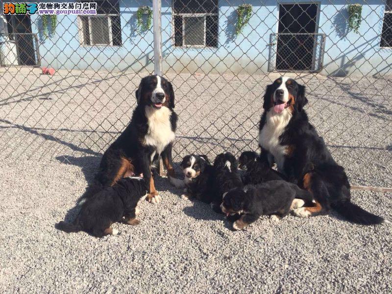 瑞士伯恩山犬 全程防疫 保健康90天可视频