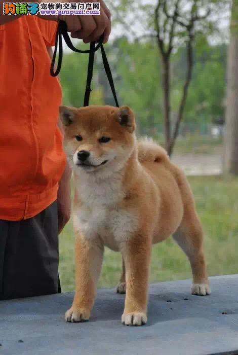 洛阳哪里有卖柴犬 纯种日系柴犬多少钱 柴犬犬舍