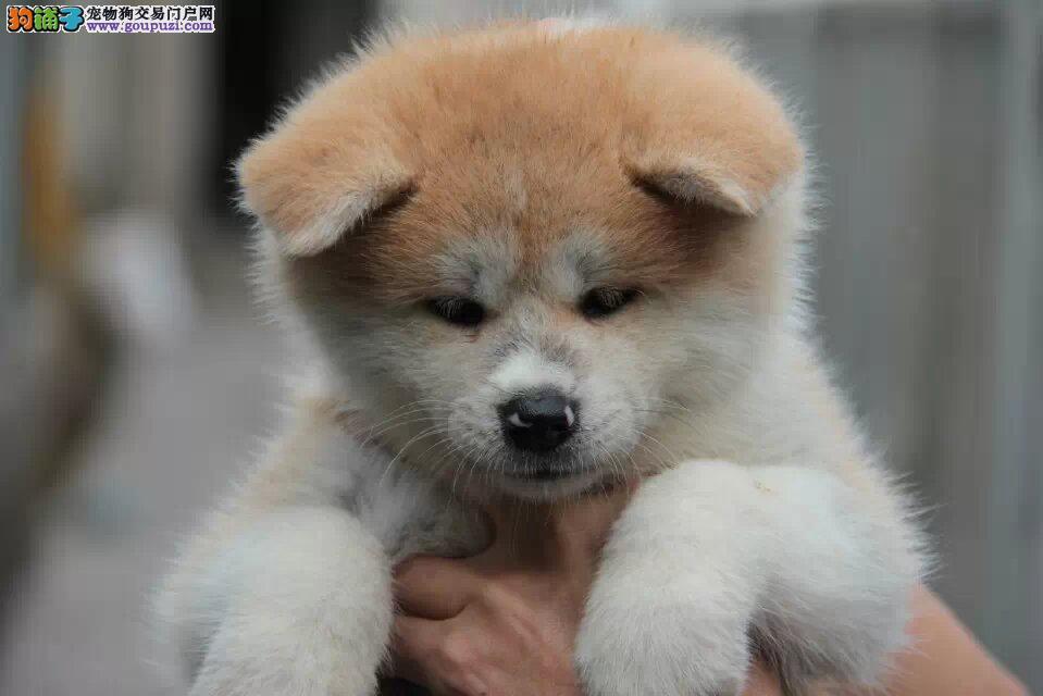 天水哪里有卖秋田犬 纯种日系秋田多少钱秋田犬舍