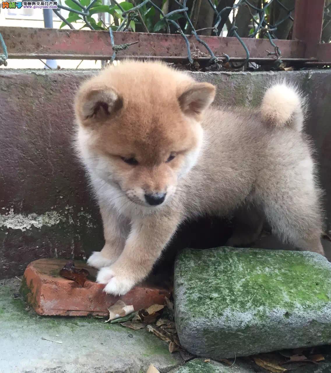 银川哪里有卖纯种柴犬 日系柴犬多少钱 银川柴犬犬舍