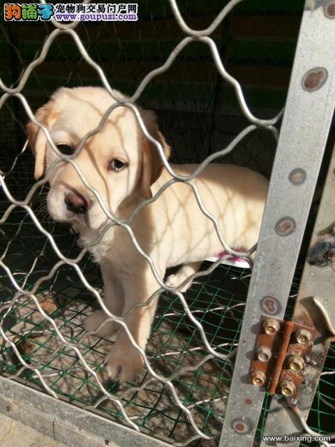 哪里有卖拉布拉多的犬舍 纯种拉布拉多价格
