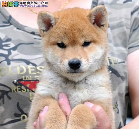 盛诚犬业十多年的繁殖经验 纯种柴犬 同城免费送狗