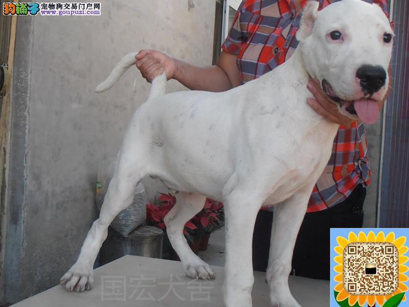浙江纯种杜高犬出售杜高幼犬价格保证健康