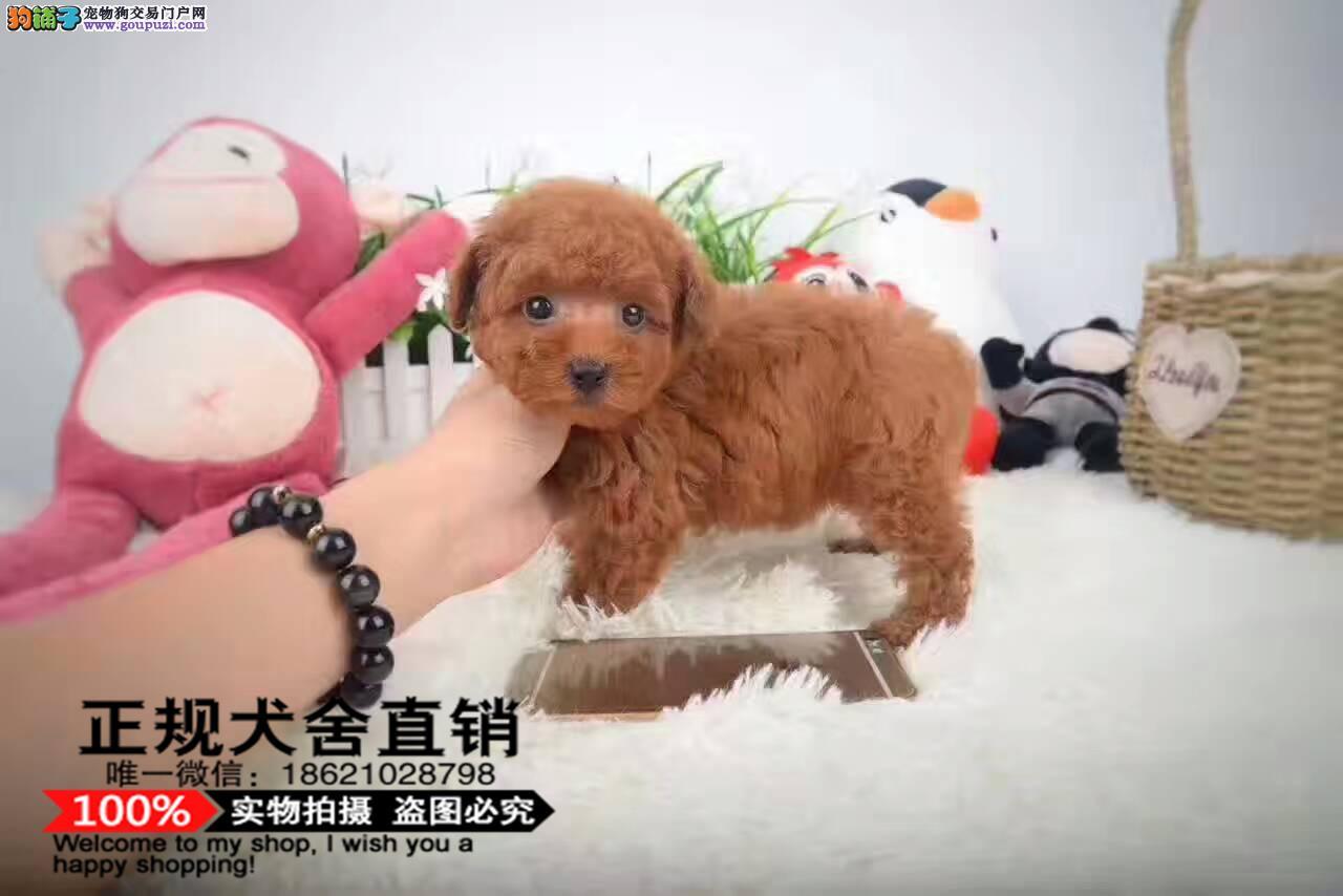 纯种赛级茶杯泰迪犬 红色泰迪幼犬出售玩具泰迪带证