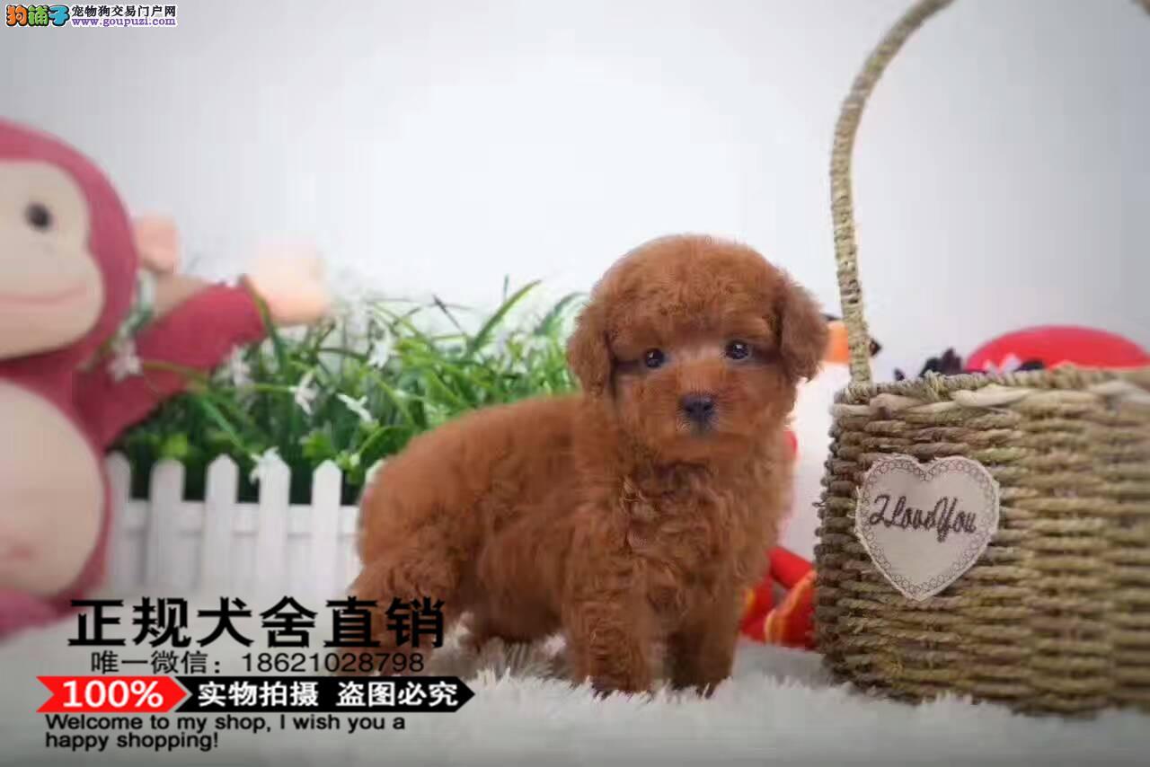 纯种赛级茶杯泰迪犬红色泰迪幼犬出售玩具泰迪带证