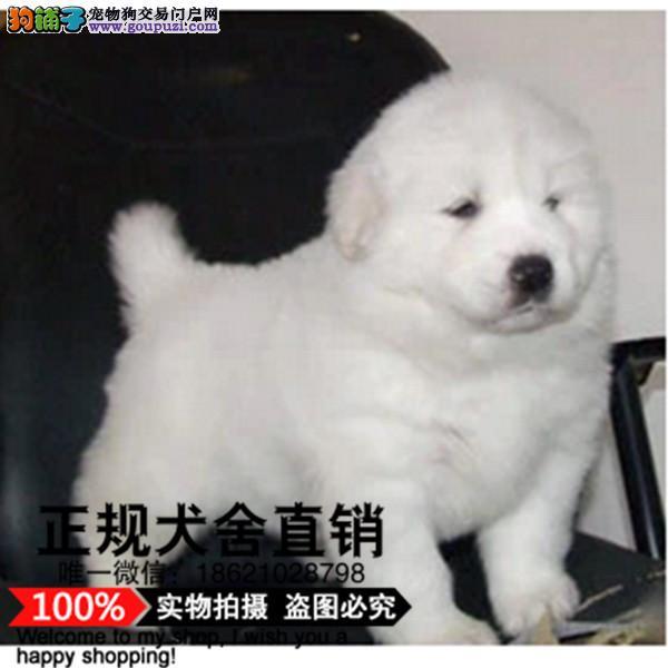 上海纯血统繁殖超大骨量赛级双冠大白熊幼犬健康出售