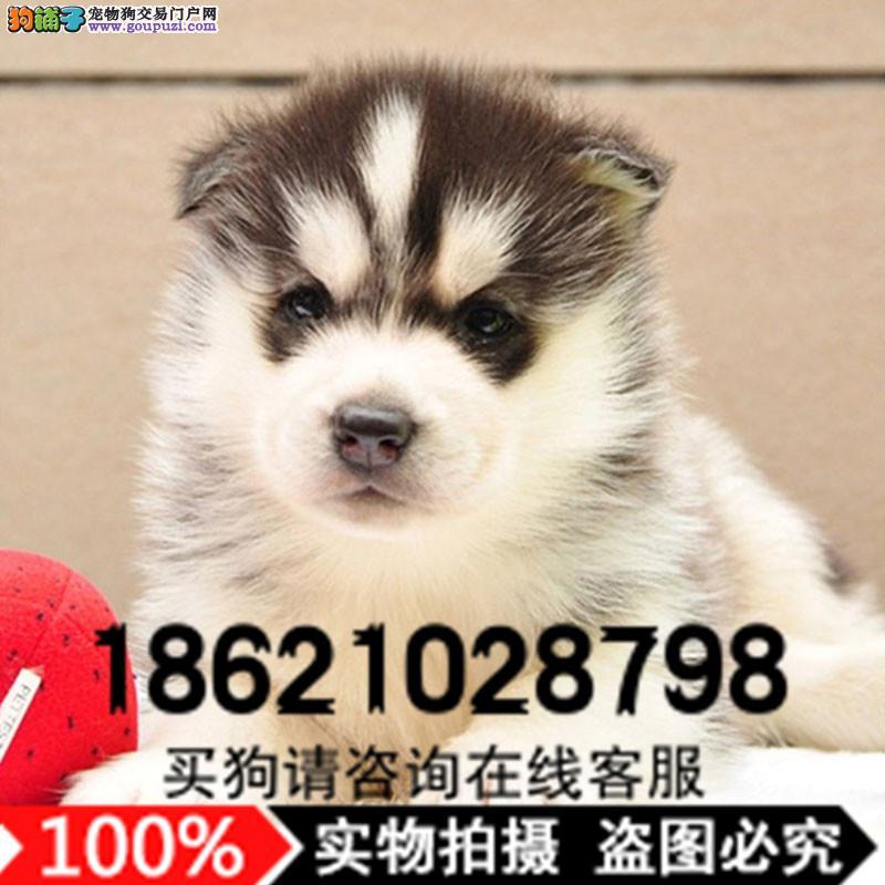 上海专业犬舍出售哈士奇犬 纯种赛级西伯利亚雪橇犬